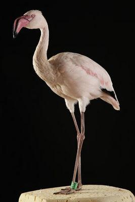MASAI GALLERY - Oiseau-MASAI GALLERY-Flamant nain