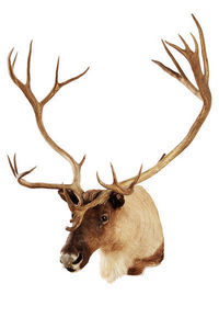 MASAI GALLERY - caribou - Cape Taxidermy