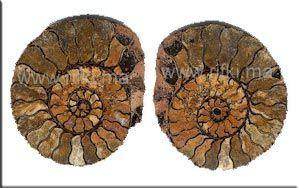 Minéraux et fossiles Rifki -  - Fossilie