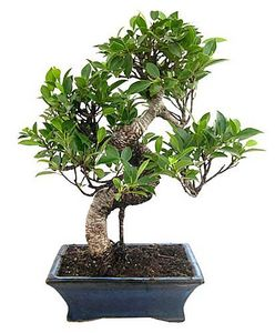 FOLIFLORA - sacré - Bonsai