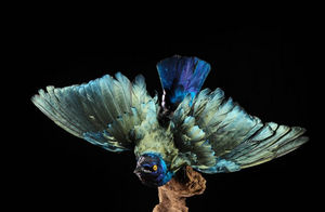 MASAI GALLERY - taxidermie - Uccello