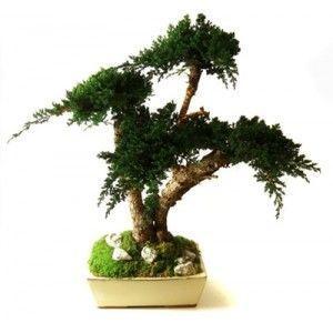 Infinie Nature -  - Bonsai